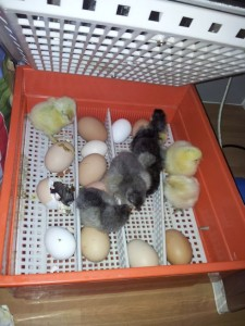 Chicks hatching in the incubator
