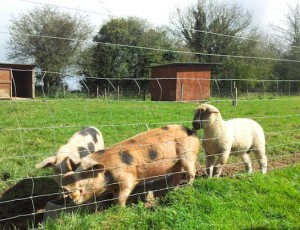 Pigs and lamb