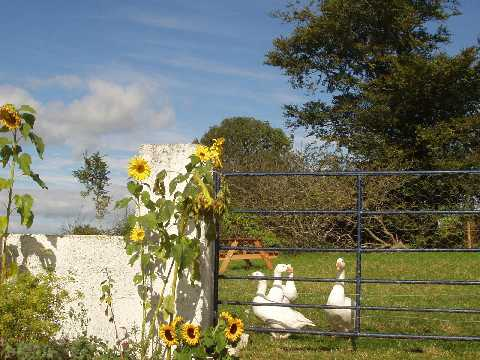 The geese and sunflowers that live at Croan Cottages