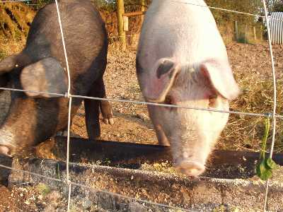 Large Black Pig and Saddleback Pigs live an organic life at Croan Cottages