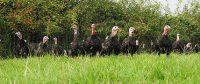 Free Range Bronze Turkeys